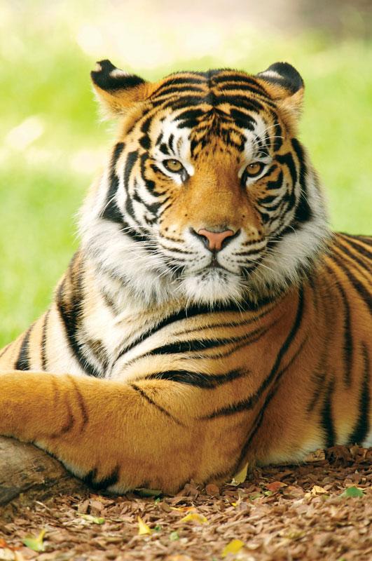 free natural Bengal Tiger