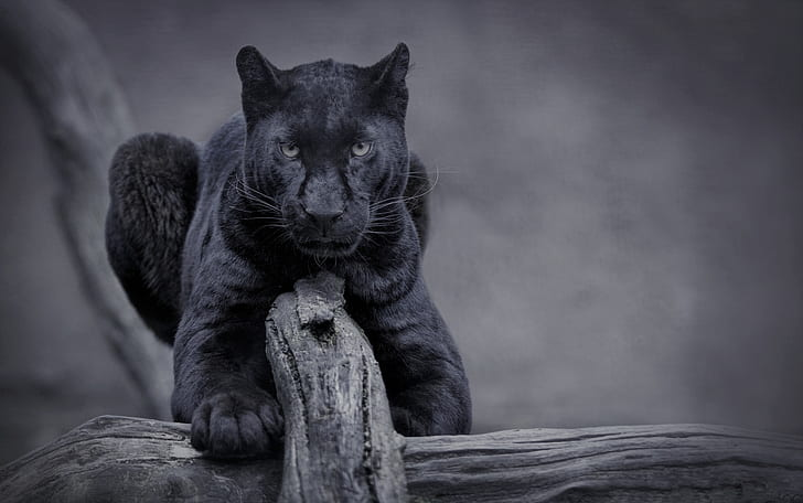 natural Panther Wallpaper for desktop