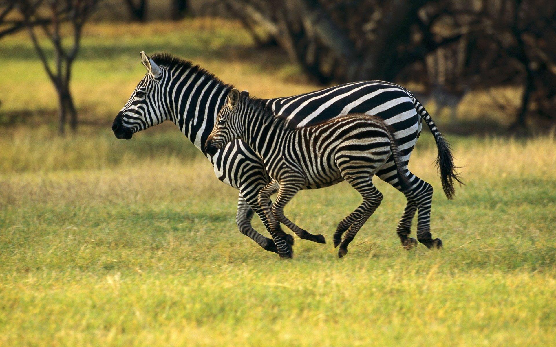 running Zebra Wallpaper
