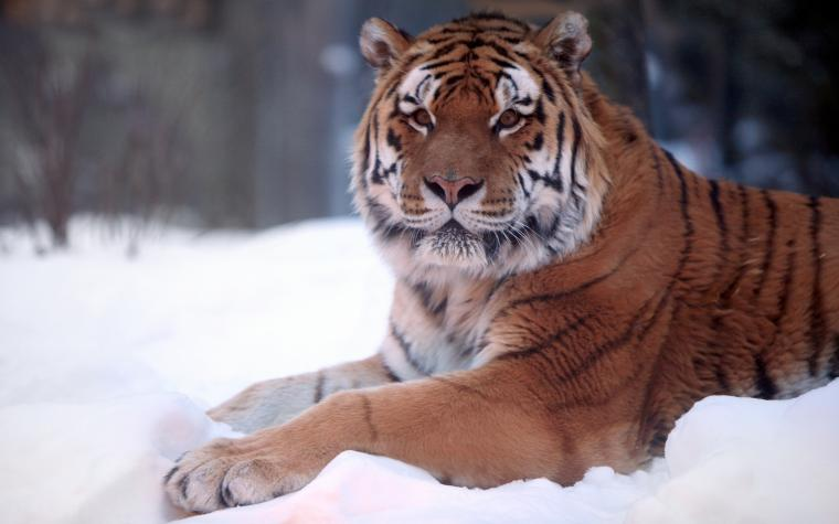 seating on snow Tiger Wallpaper