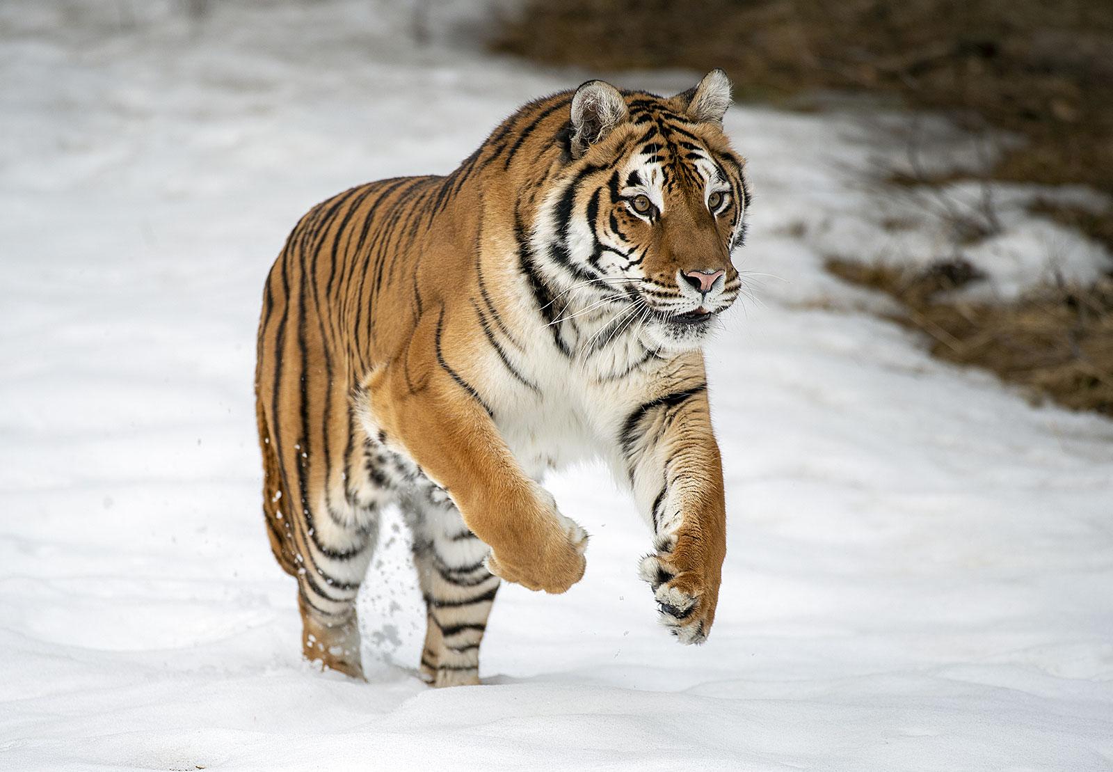 tiger Siberian image