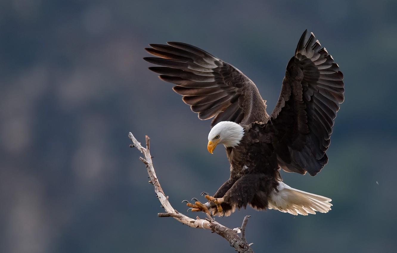 awesome Bald Eagle Wallpaper