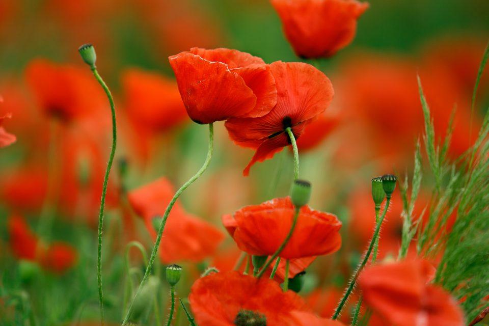beautiful Poppy Flowers image