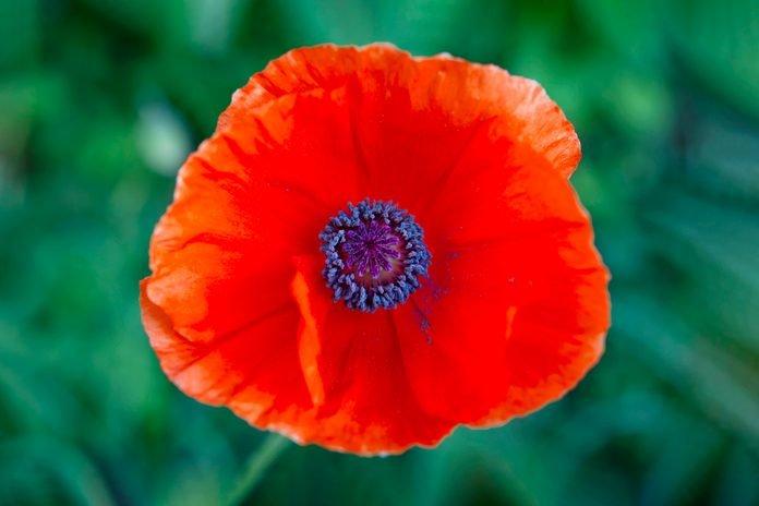 full top Poppy Flowers image