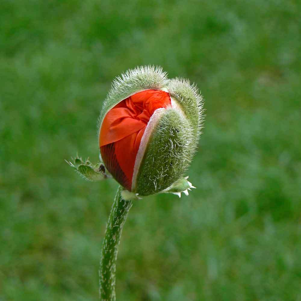 most popular Poppy Flowers image