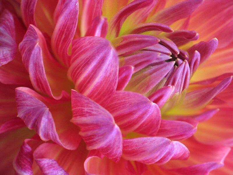 pink Flower Macro image