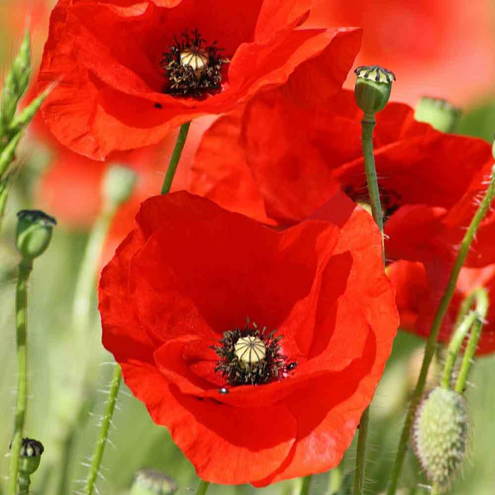 wallpaper of Poppy Flowers