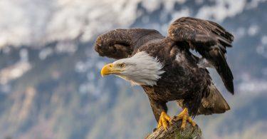 widescreen Bald Eagle Wallpaper